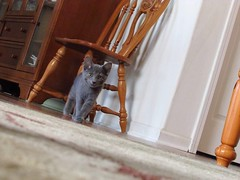 on the prowl. (AliberTwist) Tags: sweetboy bane graycat kitten littleguy russianblue curiouscat