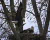 (jimburns.org) Tags: eagles bald eagle nest chick feathering flight feeding