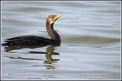 6841 - little cormorrant (chandrasekaran a 40 lakhs views Thanks to all) Tags: littlecormorant birds nature india chennai sholinganallur marsh wetlands canon powershotsx60hs