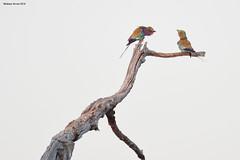 Lilac-Breasted Rollers (naturalturn) Tags: couple lilacbreastedroller roller savanna tree savuti chobe chobenationalpark botswana image:rating=5 image:id=206285