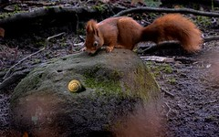 Nut or not nut, that is the question (hardy-gjK) Tags: eichhörnchen squirrel écureuil hardy nikon schnecke escargot look blick nature wildlife mammals animals tiere