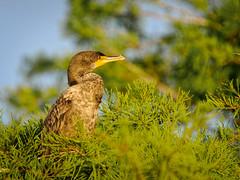 Juvenile Cormorant (Ed Rosack) Tags: usa 19cormorants doublecrestedcormorant bird bluecypresslake ©edrosack young centralflorida florida dcco immature juvenile phalacrocoraxauritus verobeach