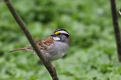 White Throated Sparrow (gmorient1@aol.com) Tags: birds centralpark newyork springmigration