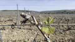 Week #16 (ZeGaby) Tags: champagne frost lx15 lumix naturephotography panasonic vines vineyards
