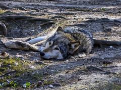 Müde (Helmut Reichelt) Tags: wolf müde april frühling münchen zoo tierpark hellabrunn oberbayern bavaria deutschland germany panasonic lumix fz200 captureone10 colorefexpro4