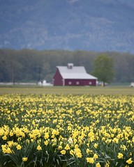 Magical Jonquils Dance (~~J) Tags: jonquil daffodils flowers flower field barn yellow red trees mountain fence landscape spring season explore