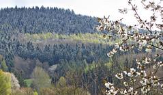 Kirschblüte und Neuschnee (kadege59) Tags: nature natur suhl thüringen thuringia church germany deutschland canon explore20170421 explore weather paysage sunlight