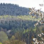 Kirschblüte und Neuschnee thumbnail