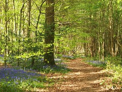 Spring path (ekaterina alexander) Tags: spring path forest wood woodland bluebell bluebells hiacinthoides nonscripta wild flower flowers ekaterina england alexander sussex landscape green leaves tree trees nature photography pictures