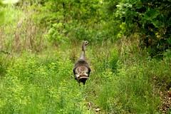 Wild Turkey Hen Leading the Way (sgbrown56) Tags: nature wildlife animal bird turkey hen wildturkey walking path greengrass field country