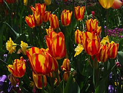 1 Yellow and Blood Red (Robert Cowlishaw-Mertonian) Tags: red yellow green tulips spring mertonian canon powershot g7x mark ii canonpowershotg7xmarkii robertcowlishaw awe ineffable wonder beauty enchanting naturespassion bloodred passion beyondwords flames fire