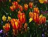 1 Yellow and Blood Red (Robert Cowlishaw (Mertonian)) Tags: red yellow green tulips spring mertonian canon powershot g7x mark ii canonpowershotg7xmarkii robertcowlishaw awe ineffable wonder beauty enchanting naturespassion bloodred passion beyondwords flames fire