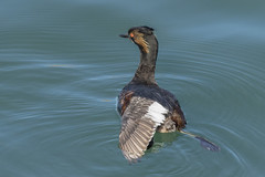 Which are the Oldest Feathers?--Eared Grebe Stretch (marlin harms) Tags: earedgrebe podicepsnigricollis molt feathermolt