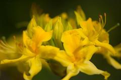 Azalea (hippyczich) Tags: azalea flower garden shrub yellow