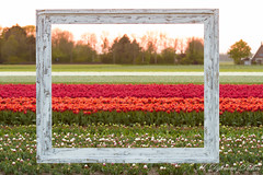 MDD_9246-bewerkt (Martin Dijkman Dulkes) Tags: 2017 anna paulowna bloemen bloemendagen breezand flowers groot holland large nederland netherlands plants sunny tulipfields tulips tulpen tulpenvelden zon