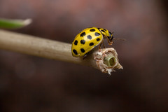 Lots of Spots but Still No Way to Go - _TNY_0694 (In Explore 22/4  2017) (Calle Söderberg) Tags: macro canon canon5dmkii canonef100mmf28usmmacro canoneos5dmarkii raynox dcr250 flash meike mk300 glassdiffusor insect beetle nyckelpiga ladybird ladybug tjugotvåprickignyckelpiga psyllobora vigintiduopunctata 22prickignyckelpiga skalbagge coccinellidae polyphaga yellow blackspots straw end deadend coleoptera 22spotladybird spots 22 vegetarian explore explored ngc npc specinsect