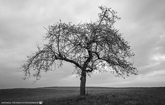 The lonely tree on the side of the path. (andreasheinrich) Tags: landscape tree field clouds evening april overcast windy germany badenwürttemberg neckarsulm dahenfeld deutschland landschaft baum feld wolken abend bewölkt windig nikond7000