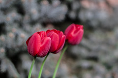 3-In-One (Ayas A.) Tags: smcpda55mmf14sdm pentax k3 55mm f14 bokeh red tulips flowers spring outdoors colors da