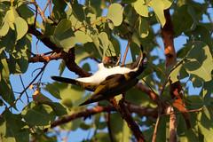 Blue-faced honeyeater (Byron Taylor) Tags: bluefacedhoneyeater rainbowlorikeet birds wildlife nature canon canon7d kakadu kak kakadunationalpark