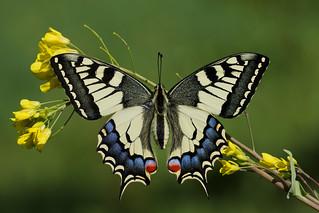 Papilio machaon (6)