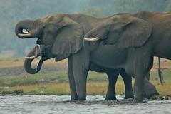 Thirsty - elephants on the Chobe River, Botswana (stevelamb007) Tags: chobe stevelamb nikkor300mmf4 d70s botswana kasane choberiver chobenationalpark elephants thirsty drinking nikon africa africanwildlife
