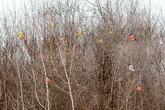 Birds in thorns I. (Jan Kornan) Tags: birds bird nikon d300s slovakia thorns 7020028vr2 slovensko rakova kysuce