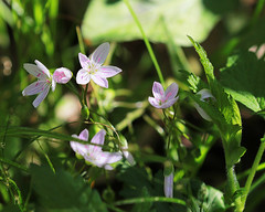 A light beauty (RPahre) Tags: spring universityofillinois robertallertonpark allertonpark allerton illinois wildflowers springbeauty light woods forest copyrighted robertpahrephotography donotusewithoutpermission