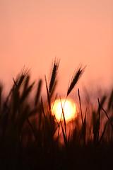 (Leela Channer) Tags: sunrise dawn morning early pink orange red silhouette grasses wheat nature black closeup spring light bokeh