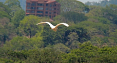 Flying egret (joybidge (back from vacation)) Tags: costarica naturepatternscanada trishcanada tsmay62013