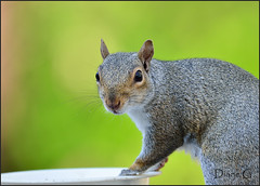 Eastern Grey Squirrel  32 (Diane G. Zooms) Tags: nature squirrel squirrels wildlife easterngreysquirrel supershot squirrelphotos squirrelphotographs hganimalsonly sunrays5