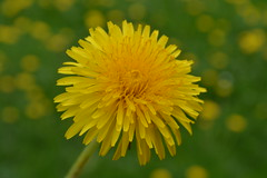 DSC_0762 (Sofie thing) Tags: flower nature spring many dandelion there