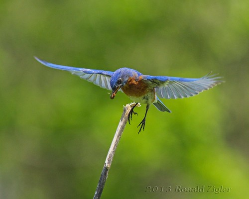 Bluebird in flight with lunch for chicks