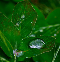 Last night it rained again. (Omygodtom) Tags: street wild macro green leaves rain spring bokeh tamron90mm d7000