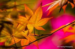 Impressions (T i s d a l e) Tags: leaves spring maple nikon farm foliage japanesemaple april impressions tisdale 2013