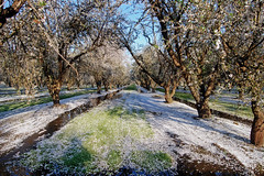 Orchard_4575-1 (jbillings13) Tags: california landscapes farming almond orchard orchards kerncounty almondorchard