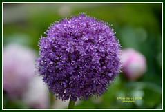 Pompom (Pepe (ADM)) Tags: flores flower nature flor fiori fleure