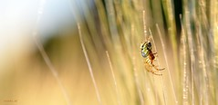 Spider in wheat fields (ericmichel_def) Tags: macro spider nikon week22 d90 tamron90 project52