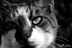 Eyes of a Predator (Laura Ketcham) Tags: blue sky green cat nose eyes kitten feline tiger kitty whiskers spots meow cateyes
