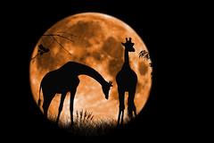 Giraffes at Full Moon (insfree1) Tags: moon silhouette composite photoshop wildlife safari giraffe longleat grazing 500px ifttt