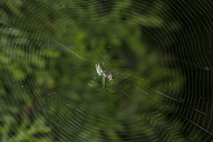 Spider eating series 23 (Richard Ricciardi) Tags: spider eating web spinne araa  araigne ragno timeseries     gagamba    nhn  spidertimeseries