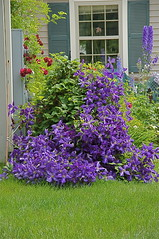 For All My Clematis-loving Friends (+David+) Tags: clematis fastflowering