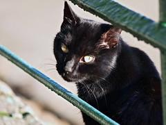 Black cat (Yalitas) Tags: pet cats cat blackcat kat feline chat kitty gato felino katze katzen kot kedi kass gatta kotka  kocka  katte  katzchen kottur olympuse420