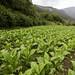 Andorra tobacco crop