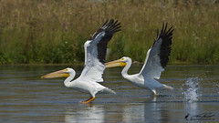 Plicans d'amrique / American white pelicans (Luc Parent) Tags: two white water grass river wings eau duo review rivire deux foin herbes americanwhitepelicans idao lucparent duobjectif pelicansdamerique