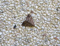 Nesselschnabeleule (bratispixl) Tags: germany oberbayern tele insekt nachtfalter chiemgau traunreut nesselschnabeleule fassadenstruktur stadtrundweg faltermonitoring bratispixl