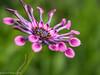Spoon Fed - Explored! (David S Wilson) Tags: uk flowers ely fens flowersplants 2013 davidswilson lightroom5 panasonicdmcg3 leicadgmacroelmarit12845asphlens