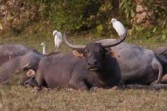 Water buffalo Pui O (Erik Uebel) Tags: nature animal asia hong kong beautifulmonsters