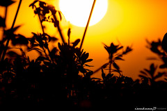 sun (iwakawa73) Tags: morning autumn light sky orange sun black fall nature japan sunrise canon landscape photography eos gold dof shine bokeh silhouettes kagoshima september dslr tamron 6d iwakawa73