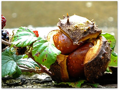 Double Conkers! (macfudge1UK) Tags: uk autumn england plant nature fruits leaves leaf log europe branch berries britain ngc chestnuts gb conkers oxfordshire blackberries horsechestnut oxon 2013 allrightsreserved fantasticnature hs50 100commentgroup bbcautumnwatch rspblovesnature yahoo:yourpictures=autumn yahoo:yourpictures=nature yahoo:yourpictures=fall fujihs50 fujihs50exr fujifilmfinepixhs50exr fujifilmhs50exr hs50exr yahoo:yourpictures=autumnfruits