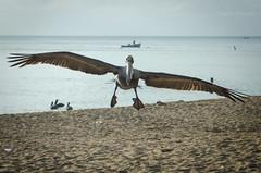 Pelican Landing (snugoori) Tags: bird beach water puertorico pelican rico landing shore